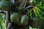?Coco de mer? (Lodoicea maldivica), also famous as ?coco-fesse? for its voluptuous shapes... For centuries, the origin of this seed (the heaviest of the world with a record of 20 kilos for 50 cm long) has remained mysterious. In the heart of the Praslin island, the Mai valley sheltered more than 7000 ?coco de mer? trees,  Nowadays, the valley has been recorded as making part of the worldwide Unesco's patrimony