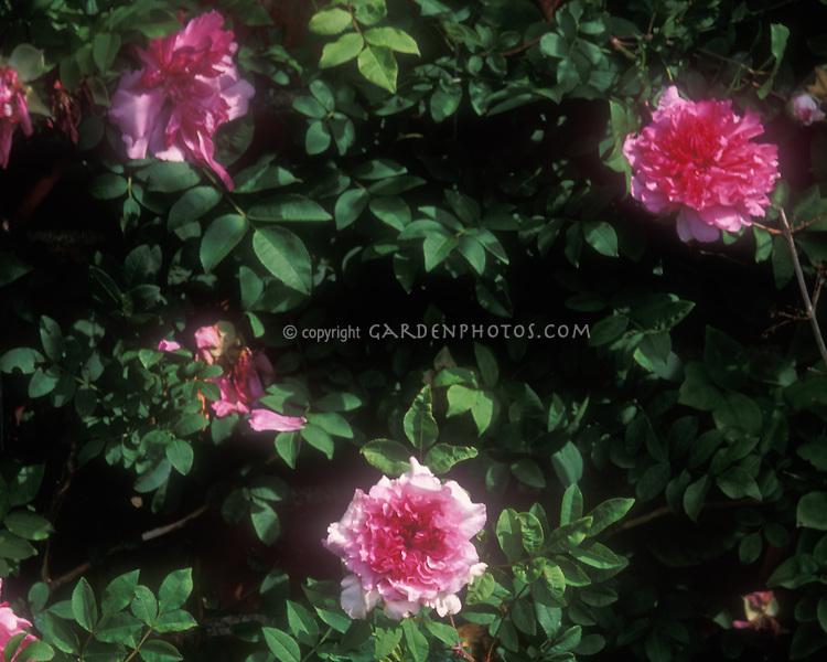 Rosa roxburghii species pink rose in bloom, Chestnut rose