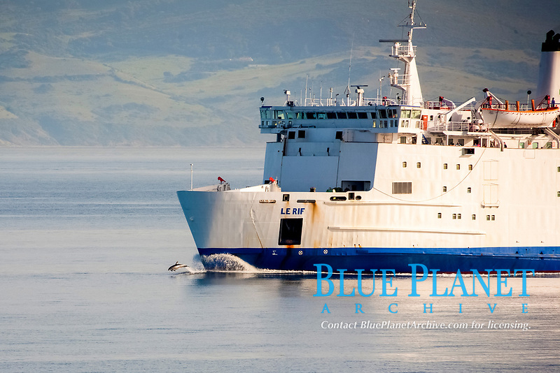 common bottlenose dolphin, Atlantic bottlenose dolphin, Tursiops truncatus, leaping, bow-riding, Mediterranean Sea, Atlantic Ocean