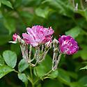 Rosa 'Veilchenblau', mid June.