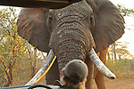 """A driver is faced with a charging elephant bull as he rounds a corner, only for the elephant to come to a stop just feet away.<br /> <br /> The vehicle was driving off-road before it came face to face with the elephant at the Zimanga Game Reserve in South Africa.<br /> <br /> The terrifying sight was captured by Alec Connah during a safari.<br /> <br /> Alec said, """"There were four of us in the vehicle and it was just after sunrise.  As we turned a corner on a narrow track, we saw a bull elephant about 50 metres ahead.  He ran down the track towards us before slowing and resting one of his tusks on the bonnet.""""<br /> <br /> """"Nobody knew what to do, the other passengers were frozen.  I slowly reached for my camera and took two shots a few seconds apart so the sound of my camera would not spook the elephant and put us in further danger.  After a minute, the elephant turned and walked away into the bushes.""""<br /> <br /> Please byline: Alec Connah/Solent News<br /> <br /> © Alec Connah/Solent News & Photo Agency<br /> UK +44 (0) 2380 458800"""