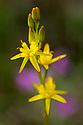 Bog Asphodel (Narthecium ossifragum) Isle of Mull, Scotland, UK. June.