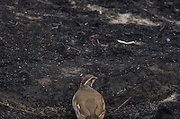 A partridge is seen on a burnt field a day after a wildfire in Cualedro, near Ourense on August 31, 2015. A fire broke out on August 30, 2015 around noon in the Cualedro town in Galicia, northwest Spain, affecting at least 3,180 hectares of forest, as seven fires continued to burn in Spain, three in Galicia, one in Cantabria, one in Castile and Leon, one in Catalonia and Extremadura. © Pedro ARMESTRE