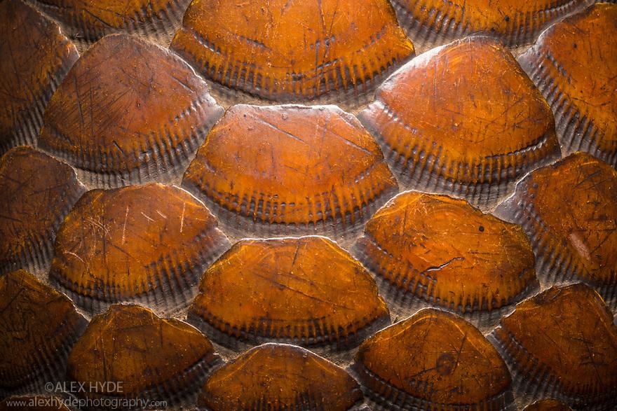 Pangolin (Manidae) scales. Museum specimen. website