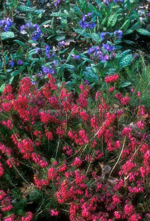 Erica carnea 'Myretoun Ruby' with Pulmonaria 'Lewis Palmer', both in flower, perennial plants, heath shrub and variegated shade foliage plant