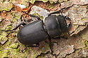 Lesser Stag Beetle (Dorcus parallelipipedus) on tree trunk, Julian Alps, Slovenia, July.
