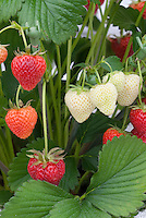 Strawberry 'Elsanta' berry fruits growing, showing stages of color ripening of berries from white to red, close up, mid-season variety from Holland
