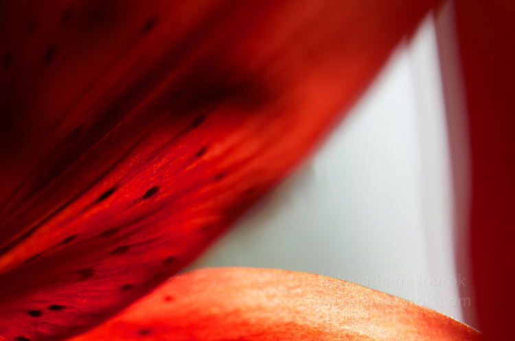 A close-up of a red Asiatic lily