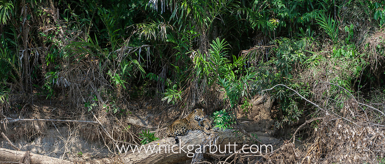 Female jaguar (Panthera onca palustris) with cub (estimated age 5 months), resting on a fallen tree over the Cuiaba River. Porto Jofre, northern Pantanal, Mato Grosso State, Brazil, South America.
