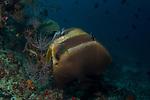 Batfish cleaning station, Orbic batfish, Platax orbicularis, Maldives