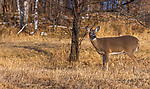 White-tailed doe standing next to a choke cherry tree in northern Wisconsin.