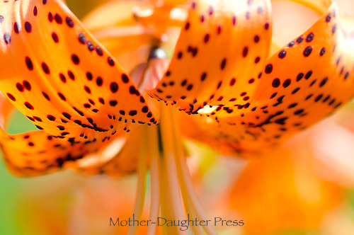 Lily close up, Maine