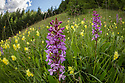 Fragrant Orchid (Gymnadenia conopsea) and Yellow Rattle {Rhinanthus sp.} flowering in ancient alpine meadow. Nordtirol, Austrian Alps. June.