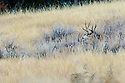 00270-004.16 Mule Deer buck is bedded in sage brush in typical habitat.  Hunt, stalk, Badlands, prairie, sage.