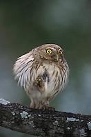 Ferruginous Pygmy-Owl, Glaucidium brasilianum, adult, Willacy County, Rio Grande Valley, Texas, USA, June 2004