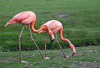 Stock image of beautiful flamingo pair walking over grass in Tier park, Berlin.<br /> <br /> (For Editorial use only)