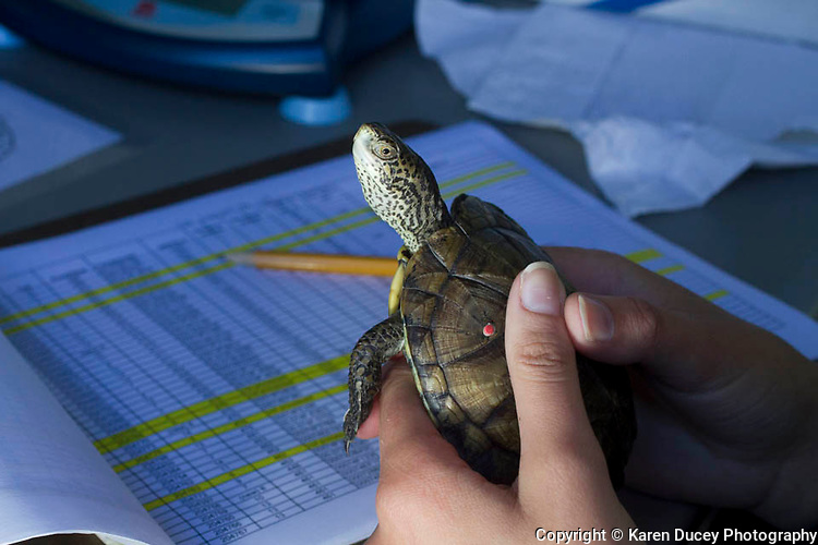 Biologists and Zoo staff from the Washington Department of Fish and Wildlife (WDFW) and Woodland Park Zoo weigh, size,and mark around 140 western pond turtles for future release in recovery sites.
