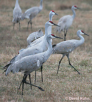 0102-1010  Flock of Sandhill Cranes Eating in Field during Winter, Grus canadensis  © David Kuhn/Dwight Kuhn Photography