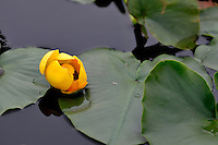 Water lily in pond  in Alaska's McNeil River State Game Sanctuary.