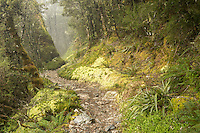Sub-alpine section of Routeburn Track with beech trees in clouds, Fiordland National Park, Southland, South Island, UNESCO World Heritage Area, New Zealand, NZ