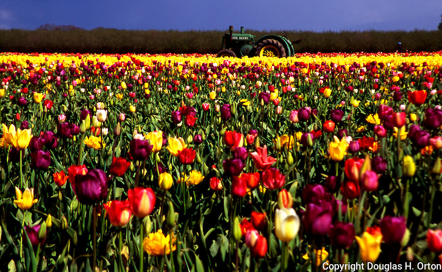 Tractor, and tulips, Bulb Farm, Willamette Valley, Oregon.  Soft focus.