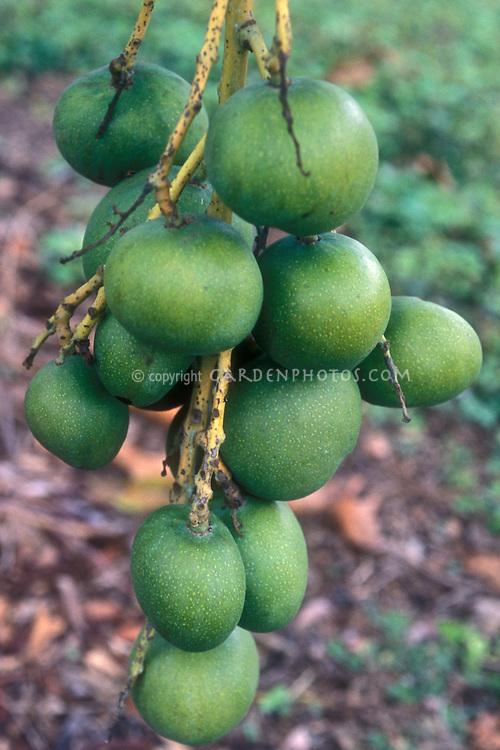Mangifera indica var. manga blanca group of green unripe fruits in cluster on tree