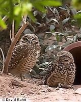 0723-1101  Western Burrowing Owl (Northern Borrowing Owl), Restoration Effort for Endangered Owl Species Using Artificial Burrow Entrance, Athene cunicularia hypugaea  © David Kuhn/Dwight Kuhn Photography.