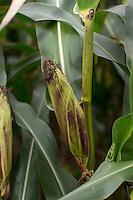 Mature forage maize cob - November