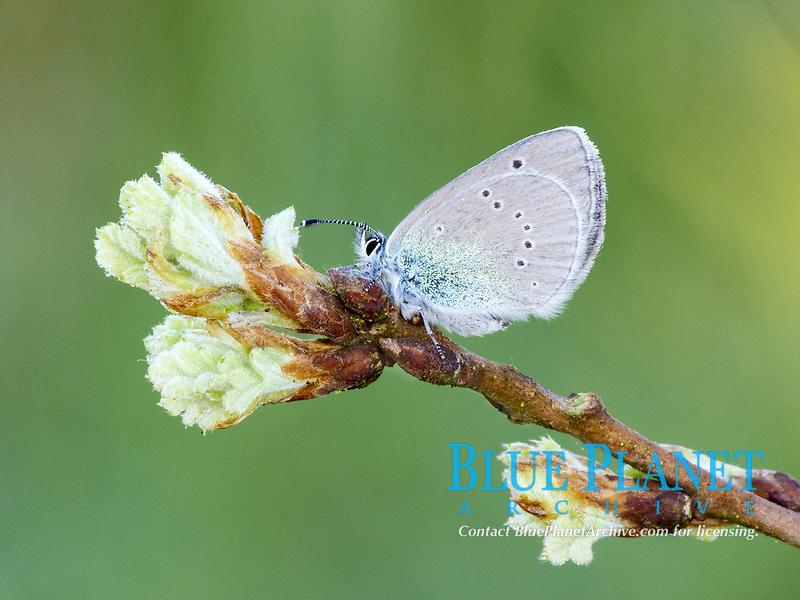 Green-underside Blue (Glaucopsyche alexis), adult, resting on oak leaf buds, Peloponnese, Southern Greece, Europe