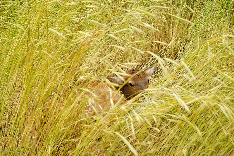 Fawn hidden in tall grasses. Near Flora, Oregon