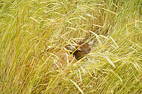 Fawn hidden in tall grasses. Near Flora, Oregon