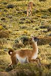 Mountain Lion (Puma concolor) female hunting Guanaco (Lama guanicoe), Torres del Paine National Park, Patagonia, Chile