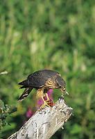 Merlin feeds on recently captured sparrow, Denali National Park, Alaska.