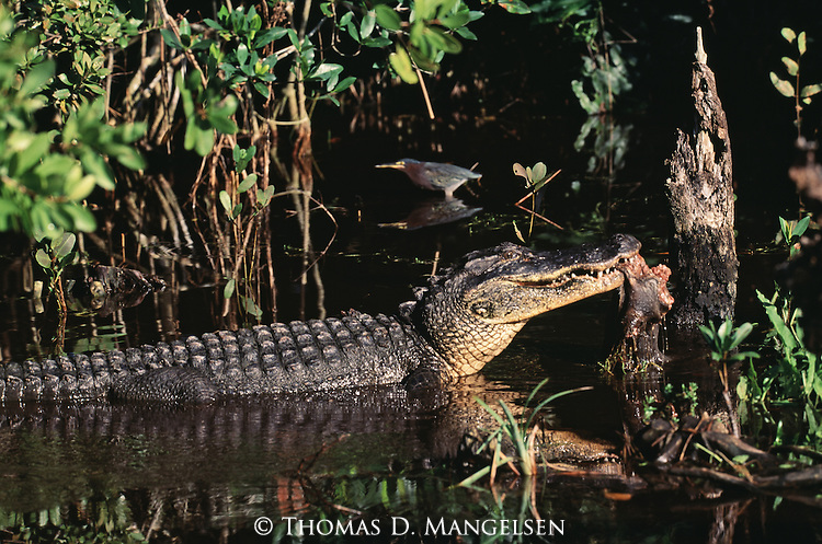 Alligator standing in water with a carcass hanging out of its mouth in Everglades National Park, Florida.