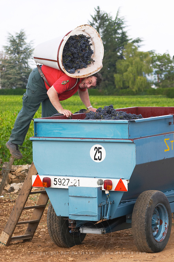 pinot noir harvesting with hod beaune cote de beaune burgundy france