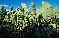 Taro, Colocasia esculenta, plant, Hanalei Bay, Kauai, Hawaii, USA