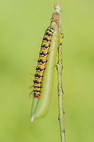 An Ornate Bella Moth (Utetheisa ornatrix) caterpillar feeds on a Streaked Rattlebox (Crotalaria pallida) plant.