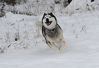 Siberian husky racing through fresh fallen snow. photos of siberian huskies, husky photos, pictures of siberian huskies, best photos of huskies, best photos of siberian huskies