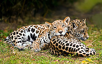 Jaguar (Panthera onca) cubs napping together