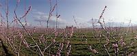 Europe/France/Languedoc-Rousillon/66/Pyrénées-Orientales/ env de Céret; vergers en fleurs avec au fond les Albères