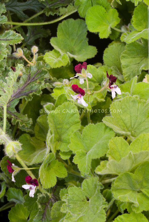 Pelargonium 'Islington Peppermint' (Peppermint scented geranium, annual flowering plant), in red and white flowers