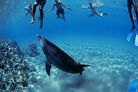 Swimming with wild Bottlenose Dolphin, Tursiops truncatus, Nuweiba, Egypt, Red Sea., Northern Africa