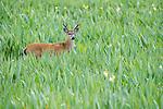 Adult male Marsh Deer (Blastocerus dichotomus) in swamp / marsh area. Mato Grosso do Sul, southern Pantanal.