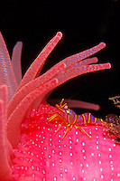 Candy Stripe Shrimp or Clown Shrimp (Lebbeus grandimanus) and Crimson Anemone (Cribrinopsis fernaldi), British Columbia, Canada.