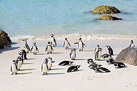 African penguin, Spheniscus demersus, adults on the beach, Boulders Beach, False Bay, Simons Town, South Africa