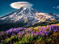 Lupines and heather with Mt. Rainier and lenticular cloud. Mt. Rainier National Park, Washington