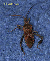 HE11-507z  Western Conifer Seed Bug inside the home winter, Leptoglossus occidentalis