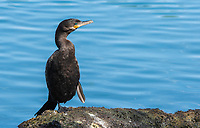 A Neotropic Cormorant, Phalacrocorax brasilianus, stands on the shore of a small lake in the Riparian Preserve at Water Ranch, Gilbert, Arizona