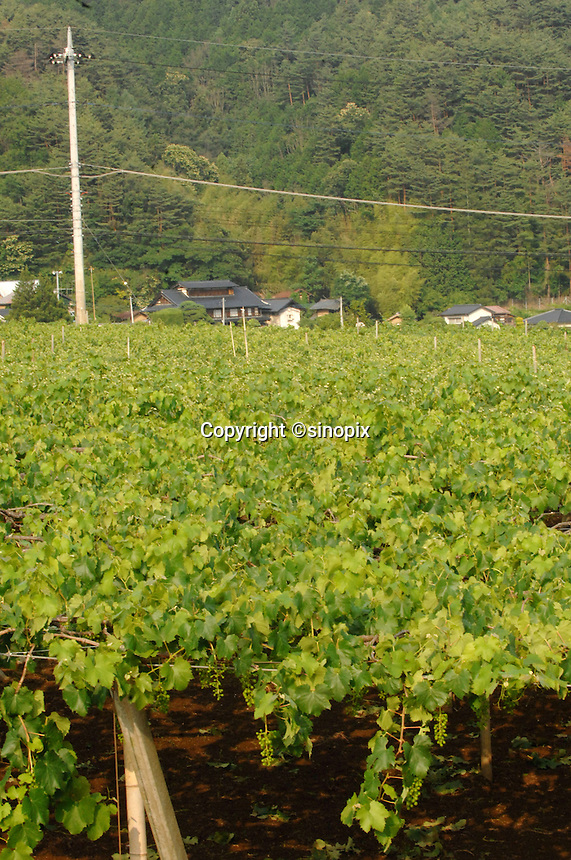 Makioka vineyard area of Yamanashi Prefecture, Japan. Dubourdieu is helping to develop a Japanese white wine that will be eaten primarily with Japanese cuisine.