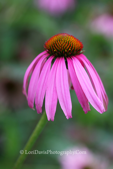 Echinacea Blossom  #F21